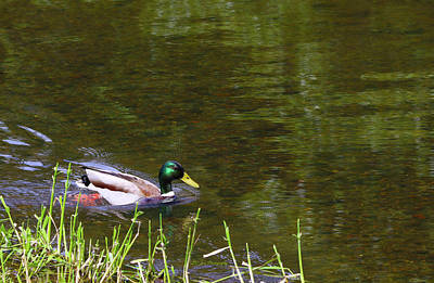 Photograph - Male Mallard Duck by Jeanette C Landstrom