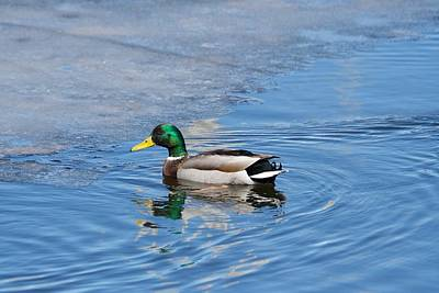 Photograph - Male Mallard Duck by Michael Peychich