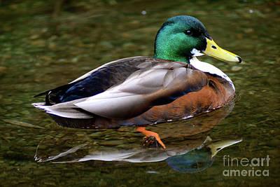 Photograph - Male Mallard Duck Reflection by Terry Elniski