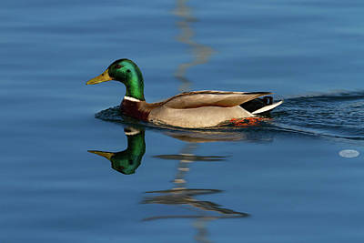 Photograph - Male Mallard Or Wild Duck, Anas Platyrhynchos, Portrait by Elenarts - Elena Duvernay photo