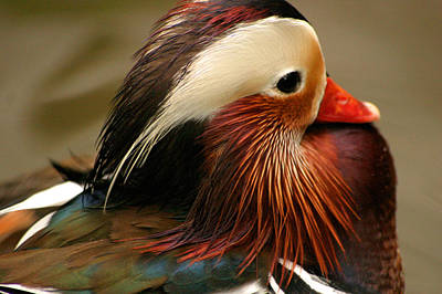 Male Mandarin Duck China Art Print by PIXELS  XPOSED Ralph A Ledergerber Photography