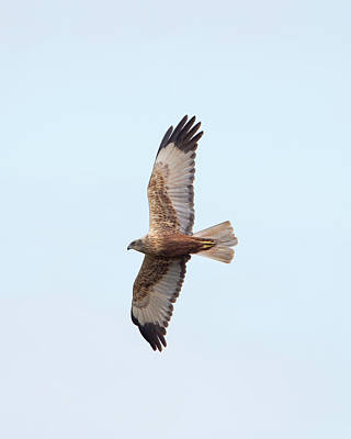 Photograph - Male Marsh Harrier by Peter Walkden