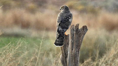 Hawk Photograph - Male Marsh Hawk Paired by Casey Butler