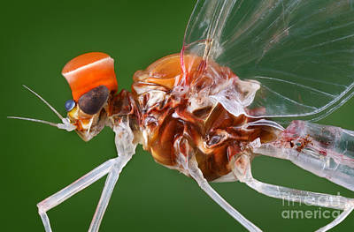 Mayfly Photograph - Male Mayfly by Matthias Lenke