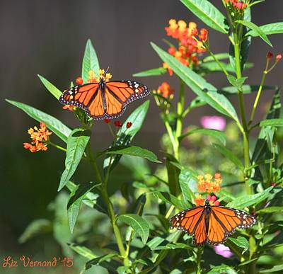 Photograph - Male Monarch Butterflies by Liz Vernand