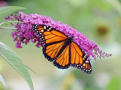 Photograph - Male Monarch Butterfly by MTBobbins Photography