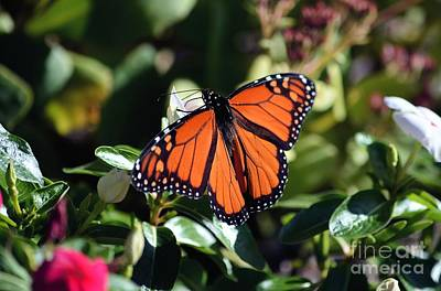 Photograph - Male Monarch Butterfly by Sharon Woerner
