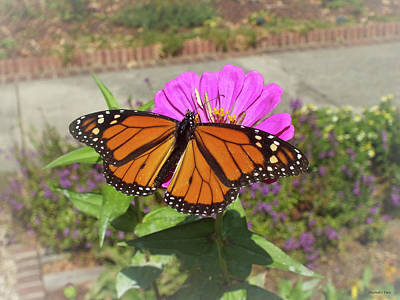 Photograph - Male Monarch  by Hannah Underhill