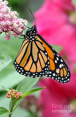 Photograph - Male Monarch by Steve Augustin
