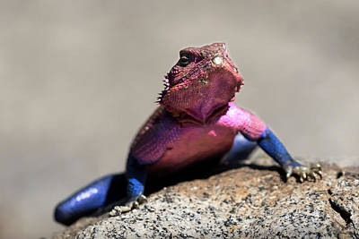 Photograph - Male Mwanza Flat-headed Rock Agama Lizard by RicardMN Photography