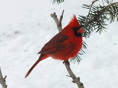 The Rolling Stones - Male Northern Cardinal by Cindy Treger
