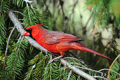 Photograph - Male Northern Cardinal by Debbie Oppermann