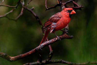 Photograph - Male Northern Cardinal by Debra Martz