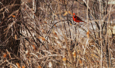 Photograph - Male Northern Cardinal by Edward Peterson
