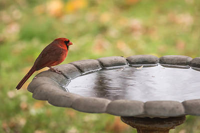 Photograph - Male Northern Cardinal In Autumn by Terry DeLuco
