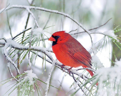 Photograph - Male Northern Cardinal In The March Snow by Kerri Farley
