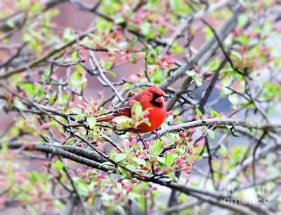 Photograph - Male Northern Cardinal - In The Pink by Kerri Farley