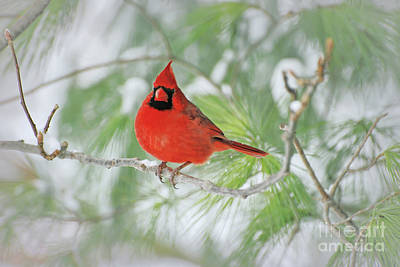 Photograph - Male Northern Cardinal In Winter by Kerri Farley