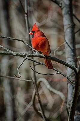 Photograph - Male Northern Cardinal by John Haldane
