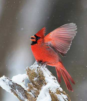 Photograph - Male Northern Cardinal by Mircea Costina Photography