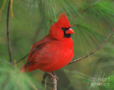 Photograph - Male Northern Cardinal On A Branch by Kerri Farley
