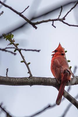 Photograph - Male Northern Cardinal by Randy Scherkenbach