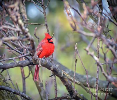 Photograph - Male Northern Cardinal Sitting Pretty by Kerri Farley