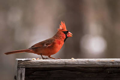 Photograph - Male Northern Cardinal Winter New Jersey  by Terry DeLuco