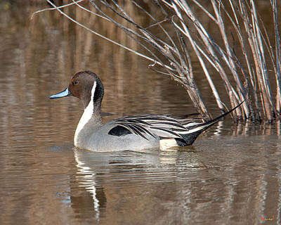 Photograph - Male Northern Pintail Dwf0150 by Gerry Gantt