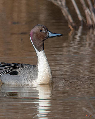 Photograph - Male Northern Pintail Dwf0152 by Gerry Gantt