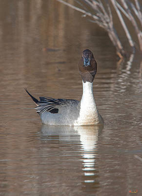 Photograph - Male Northern Pintail Dwf0158 by Gerry Gantt