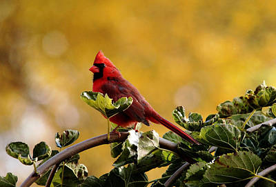 Photograph - Male Northern Red Cardinal by Debbie Oppermann