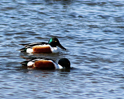 Photograph - Male Northern Shoveler-2 by Kathy M Krause