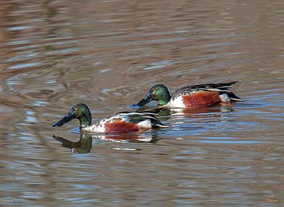 Photograph - Male Northern Shovelers Dwf0143 by Gerry Gantt