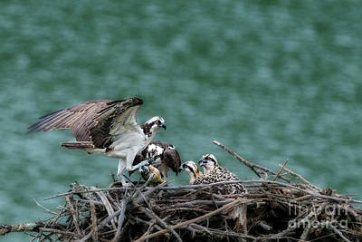 Photograph - Male Osprey Dropping Fish Off At Nest by Dan Friend
