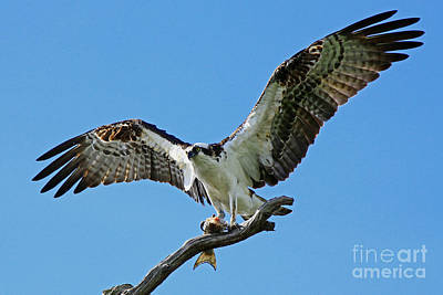 Photograph - Male Osprey by Larry Nieland