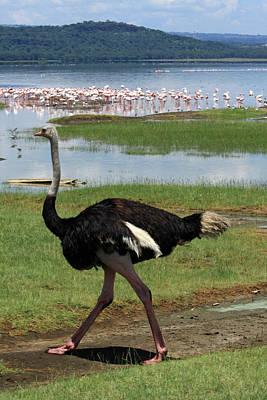Ostrich Photograph - Male Ostrich by Aidan Moran