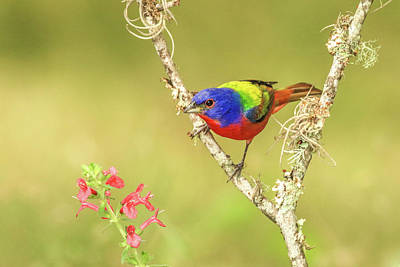 Photograph - Male Painted Bunting #1 by Tom and Pat Cory