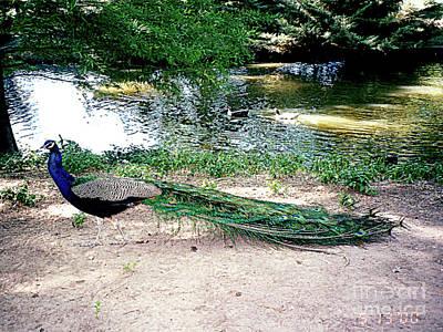 Photograph - Male Peacock - Austin, Texas by Merton Allen