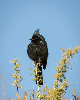 Photograph - Male Phainopepla-img_322618 by Rosemary Woods-Desert Rose Images