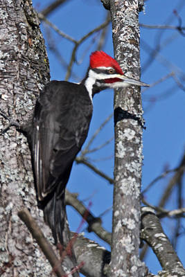 Photograph - Male Pileated Woodpecker 6340 by Michael Peychich
