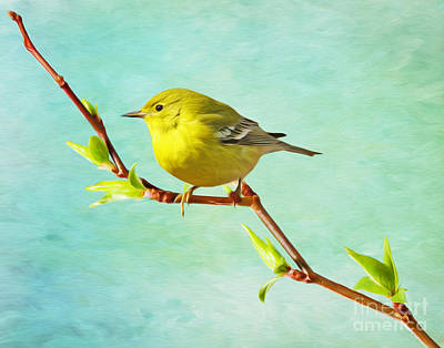 Warbler Photograph - Male Pine Warbler On Forsythia Branch by Laura D Young