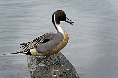 Photograph - Male Pintail by Inge Riis McDonald