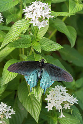 Photograph - Male Pipevine Swallowtail by Liza Eckardt