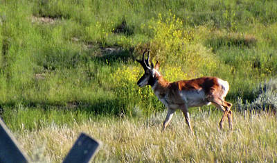 Photograph - Male Pronghorn by C Sitton