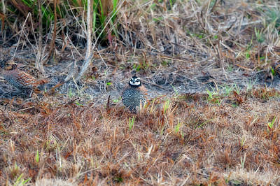 Photograph - Male Quail In Field by Dan Friend