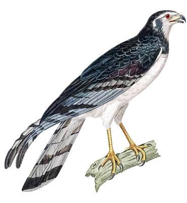 Aves Digital Art - Male Rakker by Douglas Barnett