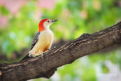 Male Red-bellied Woodpecker Art Print