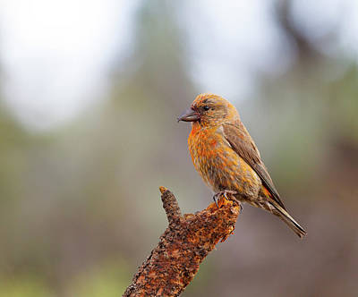 Photograph - Male Red Crossbill by Doug Lloyd