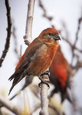 Photograph - Male Red Crossbills by Robert Potts